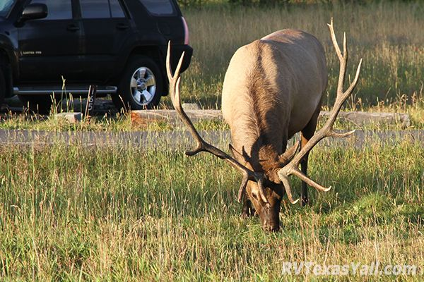 Bull Elk at Bridge Bay