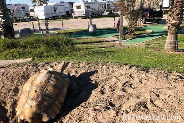 Resident Tortoise Overlooking the Mini Golf