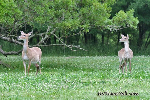 Brazos Bend Deer