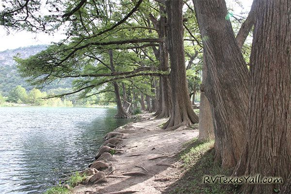 Bald Cypress Trees on the Frio River