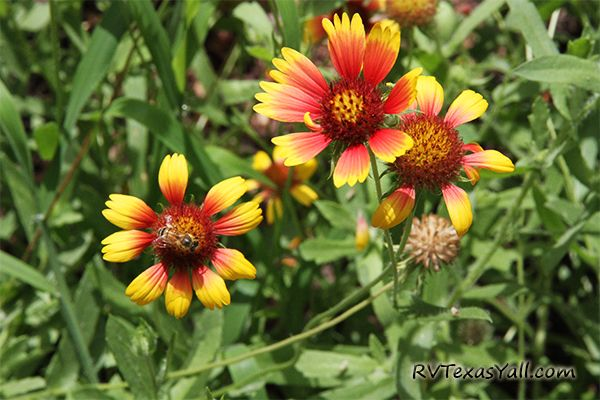 Wildflowers at Huntsville State Park