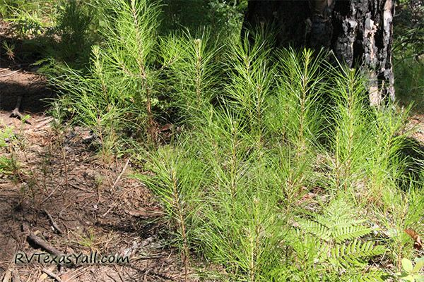 New Sapling Pines Growing in the Forest