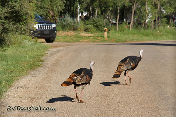 Wild Turkeys at the Hackberry Loop