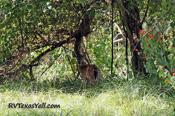 Deer at SFA State Park